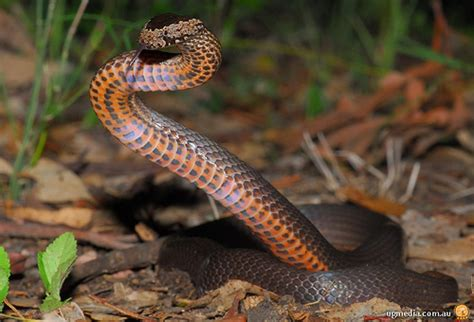 snakes in brisbane backyards wildlife answers common snakes and lizards of south east