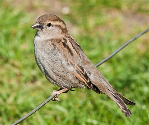 file house sparrow may 09 jpg