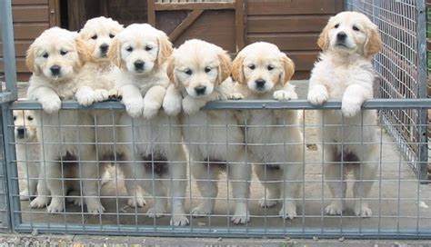 kennel club golden retriever puppies for sale kennel club golden retriever puppies scotland dogs our friends photo