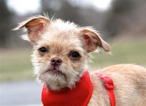 brussels griffon pomeranian mix breeds 101 breeds by size gun breeds breeds of dogs breeds picture