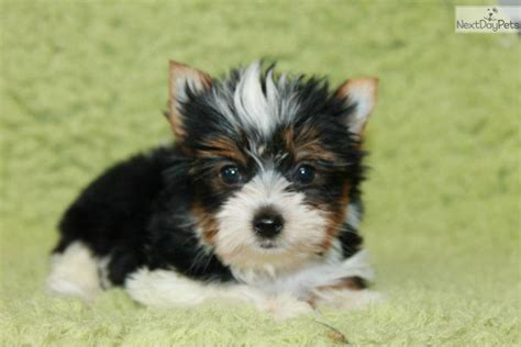 yorkies for sale in tulsa ok yorkie puppy in oklahoma terrier puppy yorkie puppies yorkie breeds