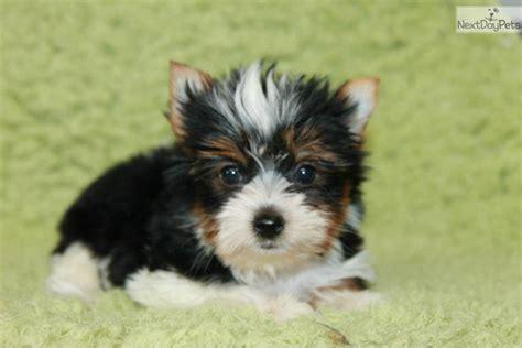 miniature yorkies for sale in tulsa yorkie puppy in oklahoma terrier puppy yorkie puppies yorkie breeds