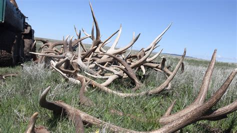 elk antlers on the prairie a shed hunt to benefit the