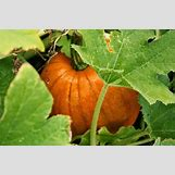 Pumpkins Growing   1600 x 1066 jpeg 238kB