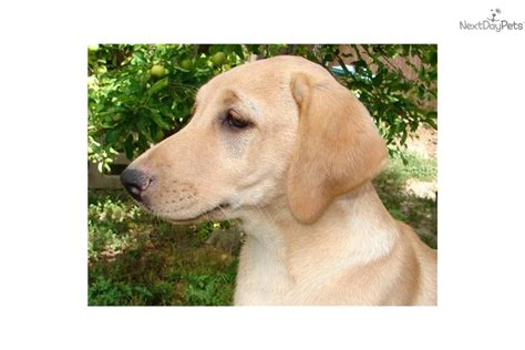 american labrador puppies lab puppies for adoption breeds picture