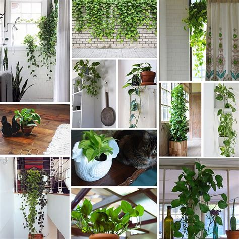 low light hanging plants indoors meet the pothos