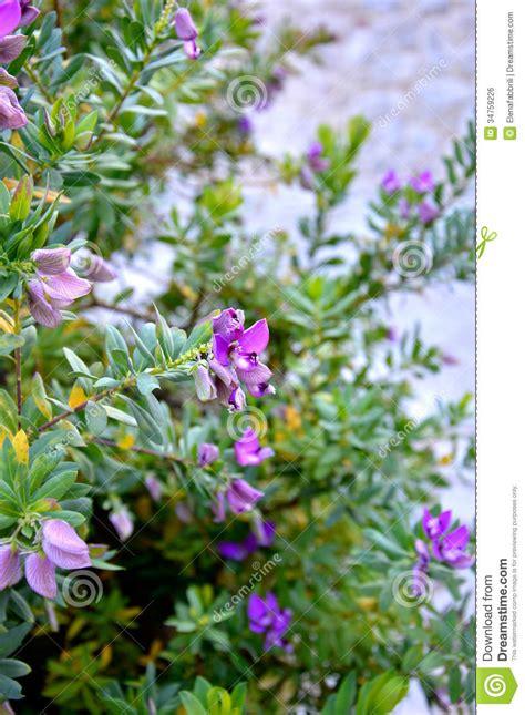 arbusto fiori viola cespuglio viola fiore immagine stock libera da diritti
