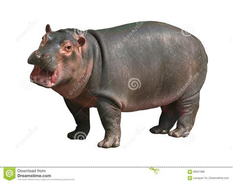 Hippo White hippo baby on white background royalty free stock photo