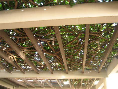 trellis designs climbing plants guies access grape arbor trellis plans
