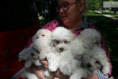bichon frise puppies for sale in michigan bichon frise puppy for sale near detroit metro michigan 2c5b43d8 f2f1