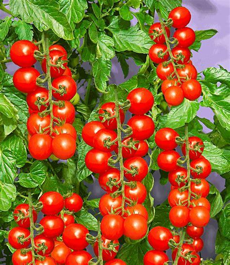 Wie Pflanze Ich Tomaten 4086 by Tomaccio 174 Tomate Tomaten Bei Baldur Garten