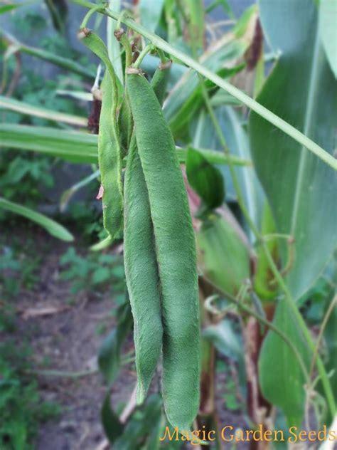 seme spagna fagiolo di spagna prizewinner phaseolus coccineus