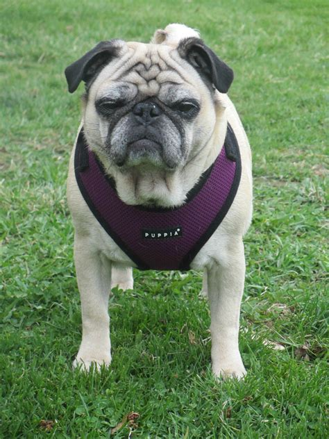 pug size puppia harness for pugs grooming for pugs elsavadorla