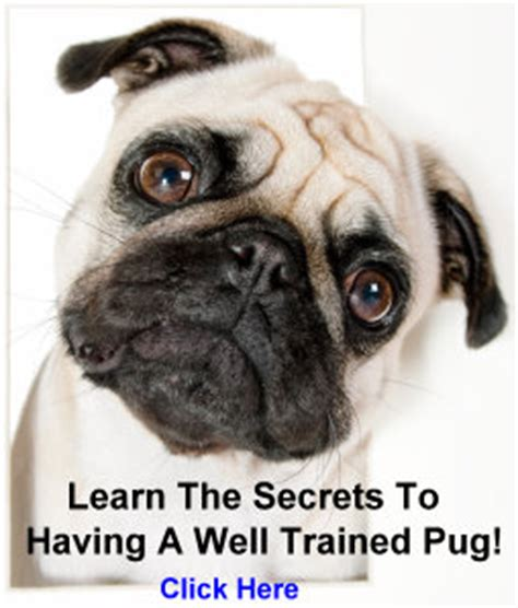 what problems do pugs pug activities