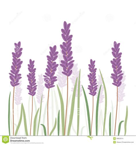 romantic lavender flovers isolated in white background