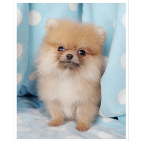 pomeranian teacups for sale teacup pomeranian puppy for sale polyvore