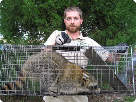kills raccoon how to kill raccoons