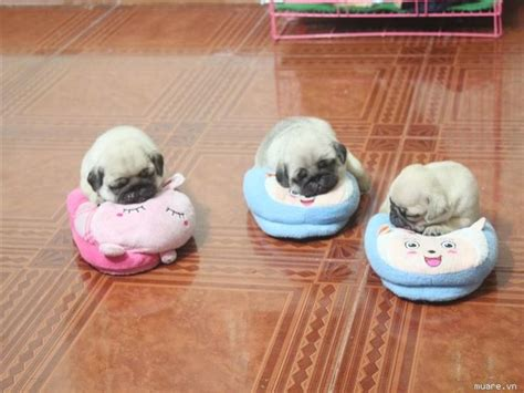 pugs and babies best 25 baby pugs ideas on baby pugs baby puppies and pug puppies