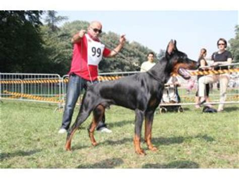 doberman puppies for sale ny doberman pinscher puppies in new york