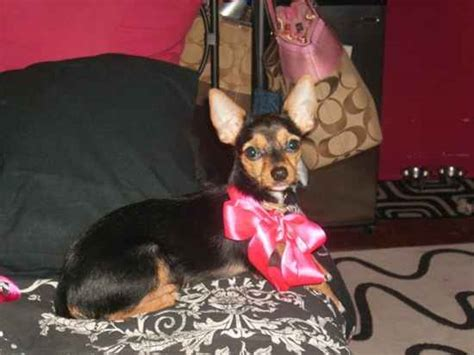 short haired chorkie short haired yorkie page 2 yorkietalk com forums