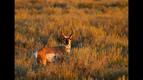 pronghorn experts  speed  sight youtube