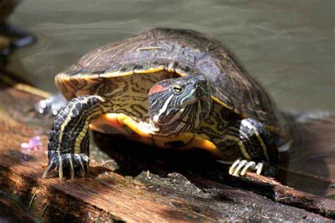 painted turtle pets pinterest