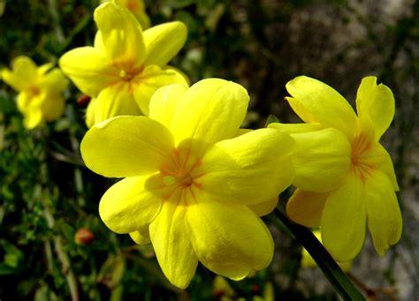 fiore di ginestra una foto al giorno inizia il risveglio fiori di ginestra