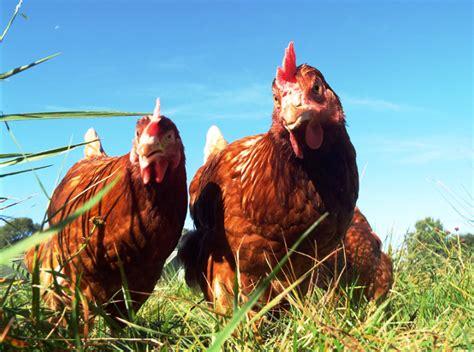 galline allevate in gabbia conad non vender 224 pi 249 uova da galline in gabbia