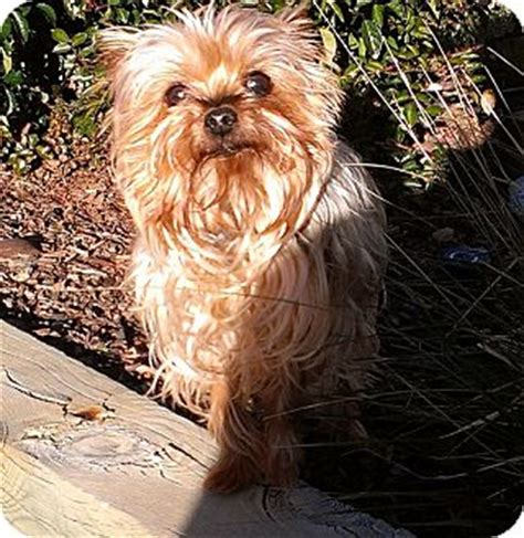 yorkie colorado yorkie rescue in colorado breeds picture