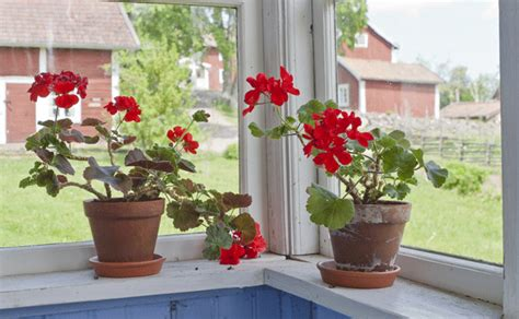Indoor Plants Sunny Window Sun Loving Houseplants 5 Windowsill Choices New