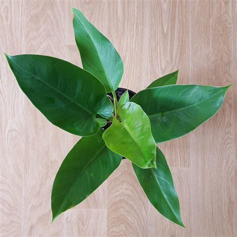 philodendron imperial green plant  pot nz