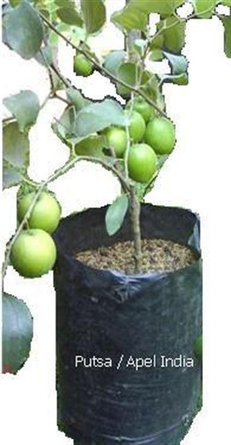 Biji Benih Tanaman Buah Indian Jujube bibit dan benih tanaman tropis putsa apel india