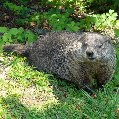 groundhog day in groundhog day february 2 folklore always the holidays