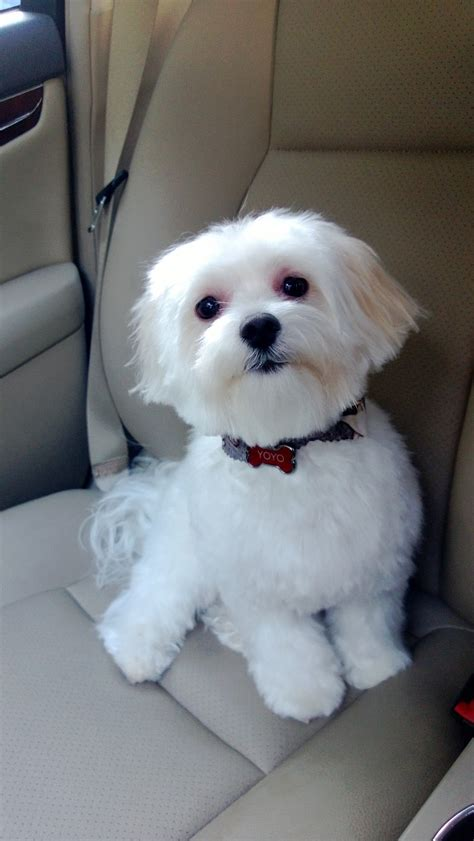 boy maltese haircuts cute maltese haircuts newhairstylesformen2014 com