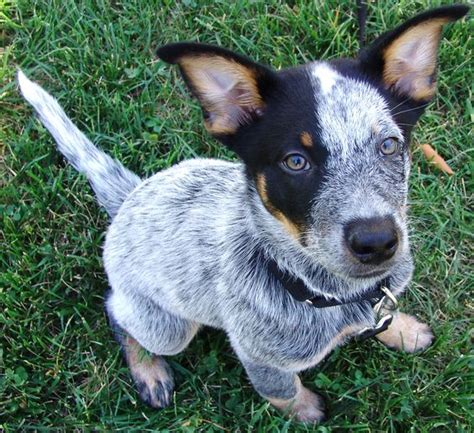 queensland blue brutus australian cattle 12 weeks blue heeler