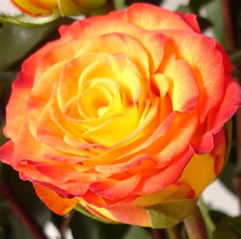 Imagenes De Rosas Diferentes Colores | rosas rosas de colores