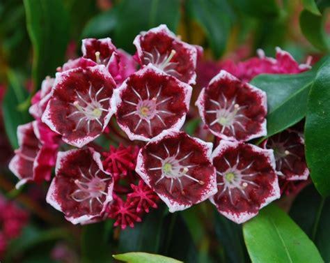 sierkers met witte bloemen gallery of bigboy kalmia latifolia keepsake with japanse