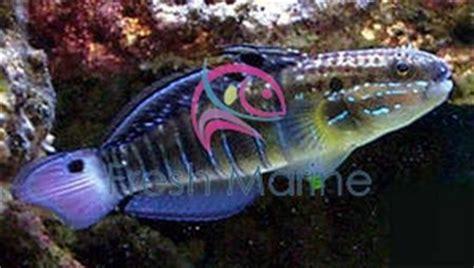 freshmarine banded goby amblygobius phalaena