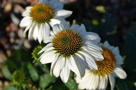 white swan coneflower works well in butterfly gardens and