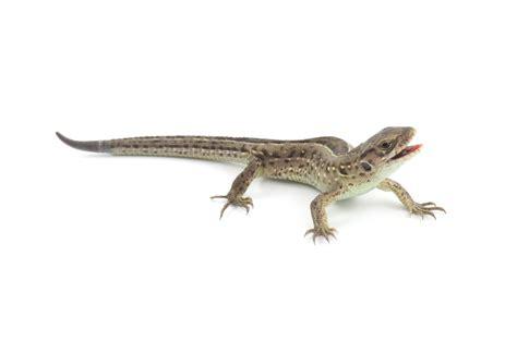 what do backyard lizards eat 100 what do backyard lizards eat backyard learning bugs and lizard field trip