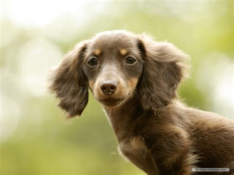 weiner puppy mini dachshund wallpaper dogs wallpaper 7014542 fanpop