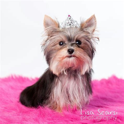 misa minnie yorkie 57 best images about misa mini yorkie on you much yorkie and 10