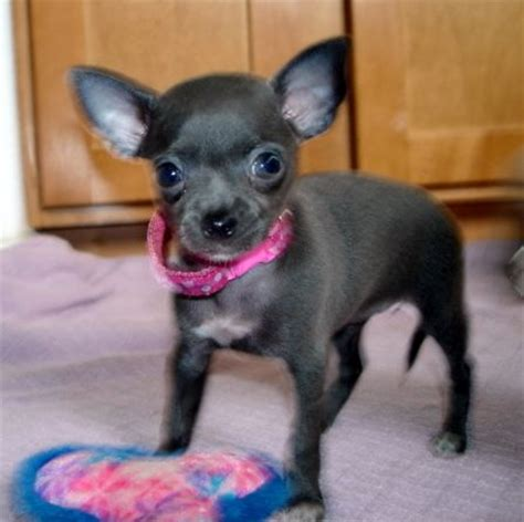 puppies for sale oregon blue teacup chihuahua blue teacup chihuahua puppies for