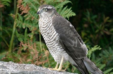 Garden Hawk by Sparrowhawk About Gardens