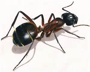 illustration animale la fourmi dinett
