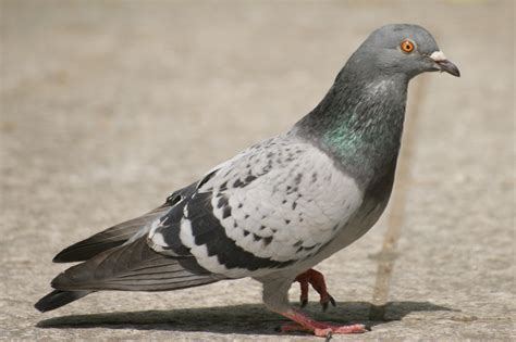 Teether Pigeon Step 2 steam community guide how to secks with pigeon