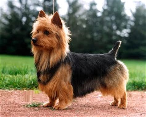 why are yorkies so expensive why are yorkies so expensive priceless yorkie puppy
