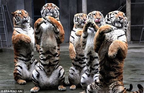 new year animal tiger crouching tiger species siberian creatures