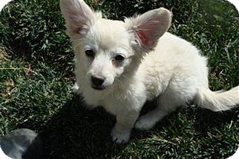 at what age is a puppy grown what age is a corgi grown breeds picture