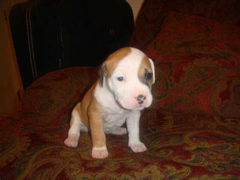 4 week pitbull puppy american pit bull terrier page 8 for sale ads free classifieds